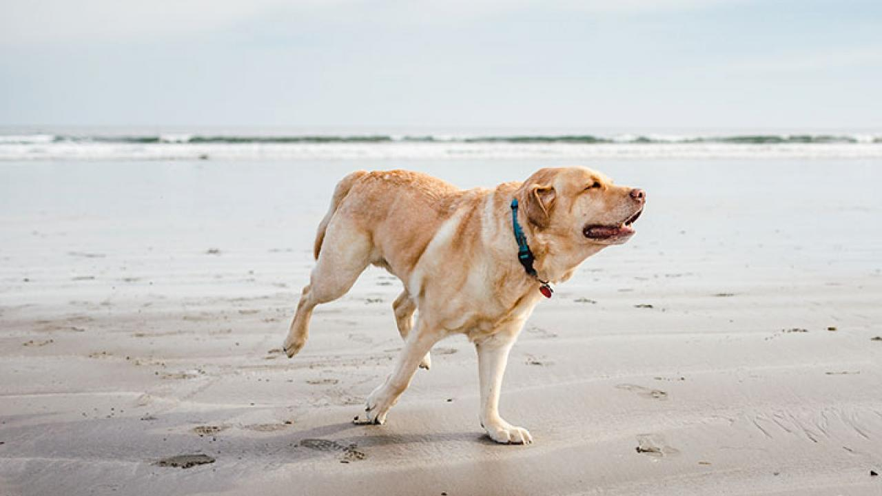 Understanding Dog Elbow Dysplasia in A Layman's Language